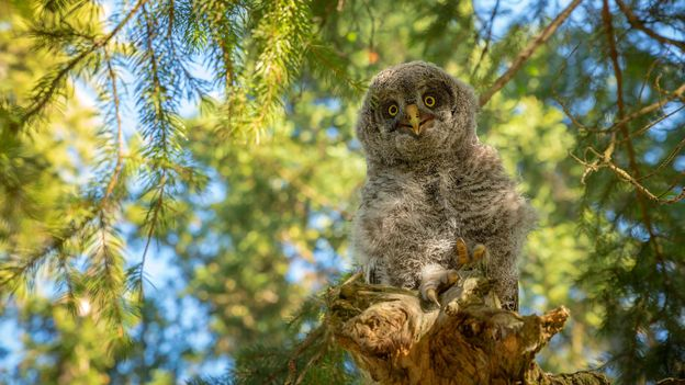 Great Grey Owls live among the trees at Grand Teton (Credit: Credit: Chase Dekker Wild-Life Images/Getty)