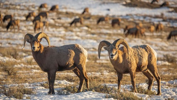 Bighorn Sheep Rams can be found at Grand Teton (Credit: Credit: Chase Dekker Wild-Life Images/Getty)