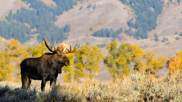 Tourists may spot a Bull Moose during their trip to Grand Teton (Credit: Credit: Andrew Kandel/Alamy)