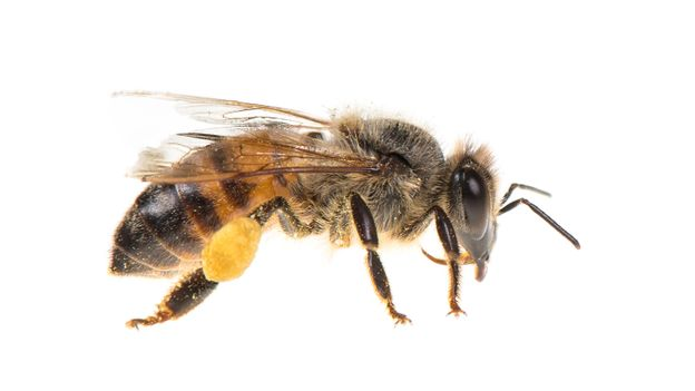 Bbc Earth Bees Learn While They Sleep And That Means They Might Dream