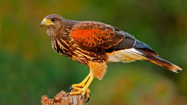 Bbc Earth Why Cities Are Unleashing Birds Of Prey Into Their Skies