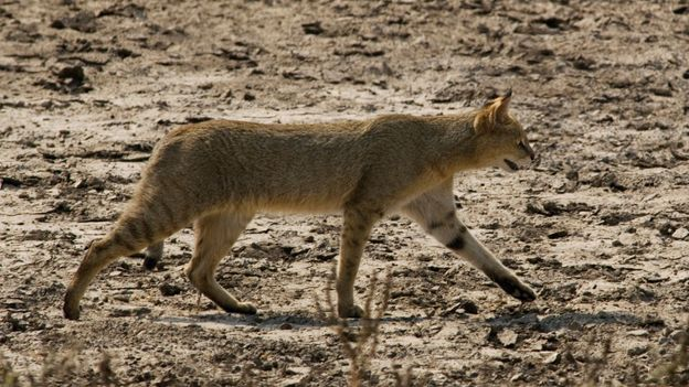 Bbc Earth Many People Are Convinced That Big Cats Roam The Uk