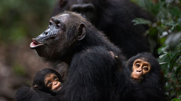 A female chimp with her granddaughter (left) and son (Credit: Fiona Rogers/naturepl.com)