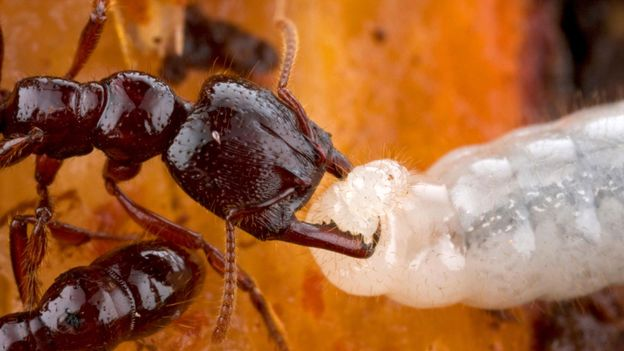 Bbc Earth Baby Ants Have A Host Of Unexpected Superpowers