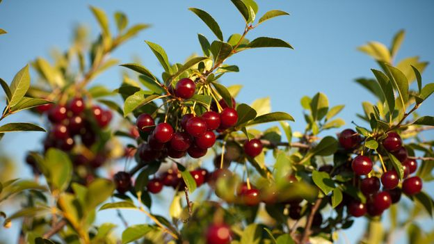 BBC - Travel - The secret cherry taking over Canada