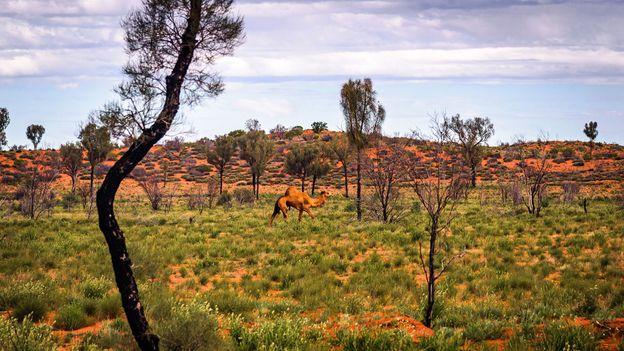 The strange story of Australia's wild camel