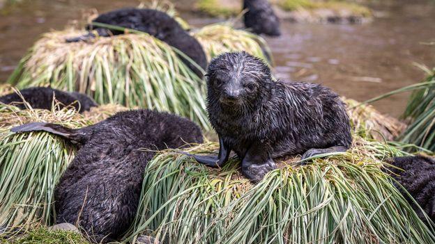 Fur seal creche (Credit: Credit: Bella Falk)