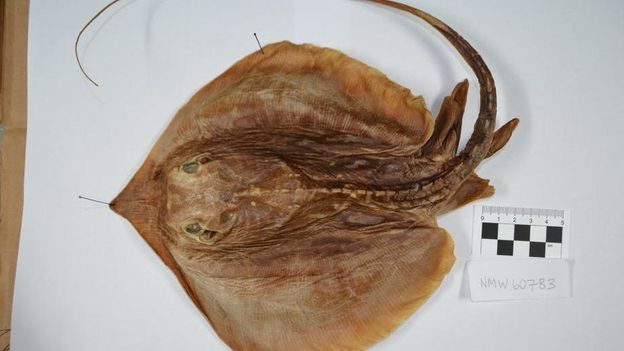 The unusual new species of stingray found in a jar