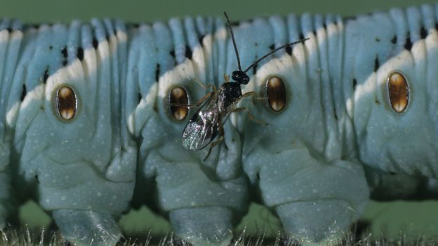 The tiny parasitic wasp that saved an industry
