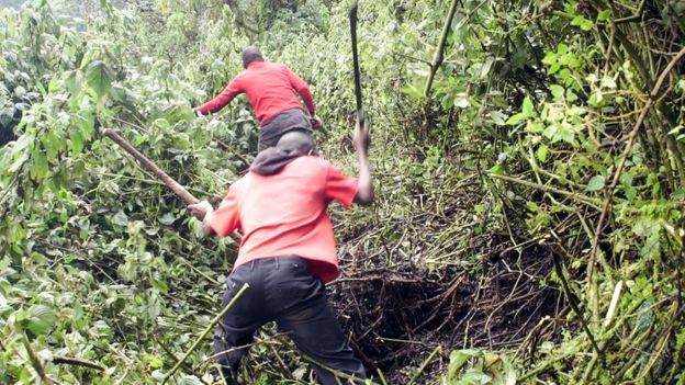 Mountain guides and porters have been cutting new routes through the undergrowth (Credit: Credit: Thomas Lewton)