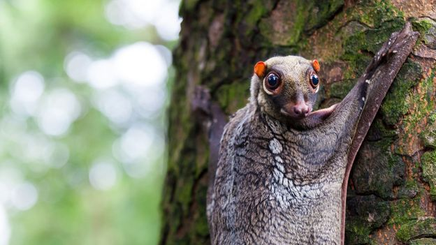 Colugos' camouflage skills have helped them evade popular attention (Credit: Credit: Vincent_St_Thomas/Getty Images)