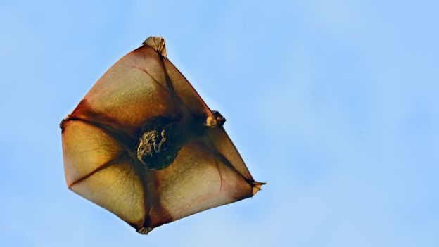 Resembling a kite, colugos can glide up to 150m in the air (Credit: Credit: thawats/Getty Images)