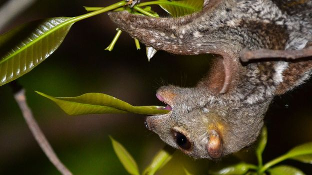 Colugos eat leaves and flowers directly from branches (Credit: Credit: Priscillia Miard)