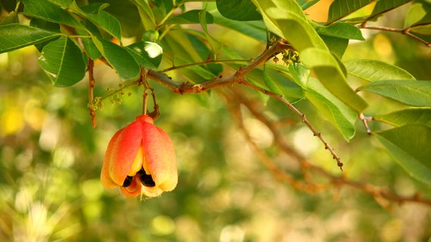 Since ackee is toxic when unripe, it is only safe to pick when the fruit has opened and its yellow pods are visible (Credit: Credit: Scott Craig/Getty Images)