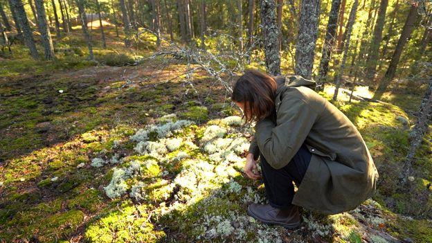 Ekstedt forages in the woods outside Stockholm for ingredients like blueberries or mushrooms (Credit: Credit: Rafael Estefania)