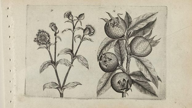 thumbnail image for review of The forgotten medieval fruit with a vulgar name - BBC Future