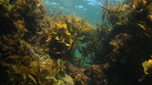 The remarkable power of Australian kelp
