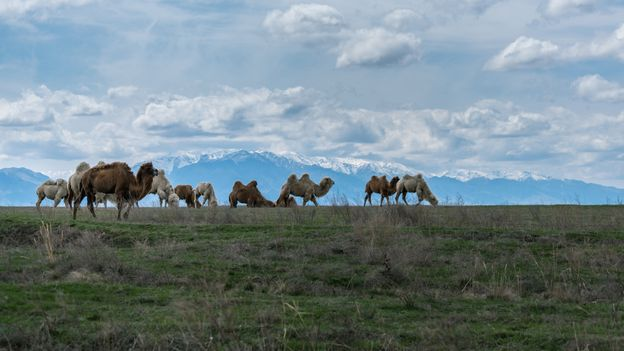 Qurt can be made with horse, sheep or camel milk, depending on the region of production (Credit: Credit: Mindof2/Getty Images)