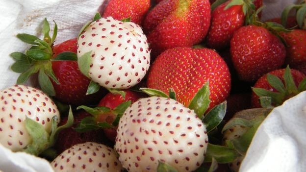 The strawberry traces its origins here, where it comes in both red and white varietals (Credit: Credit: Cristina Theoduloz)