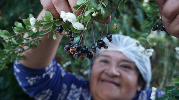 The untapped power of Patagonian berries