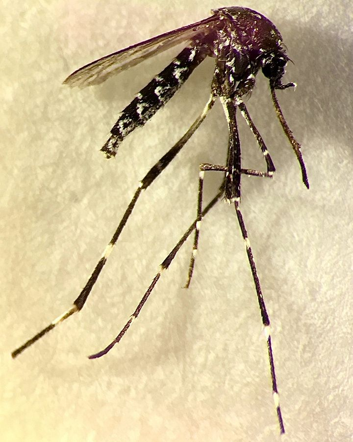The Aedes vittatus is also a vector for dengue, yellow fever and chikungunya and is new to the Americas (Credit: Ben Pagac)