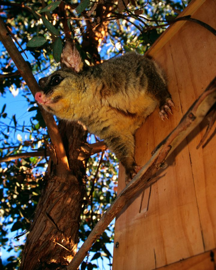 Possums are protected in Australia, but as they live in close quarters to humans, the risk of diseases is increasing (Credit: Getty Images)