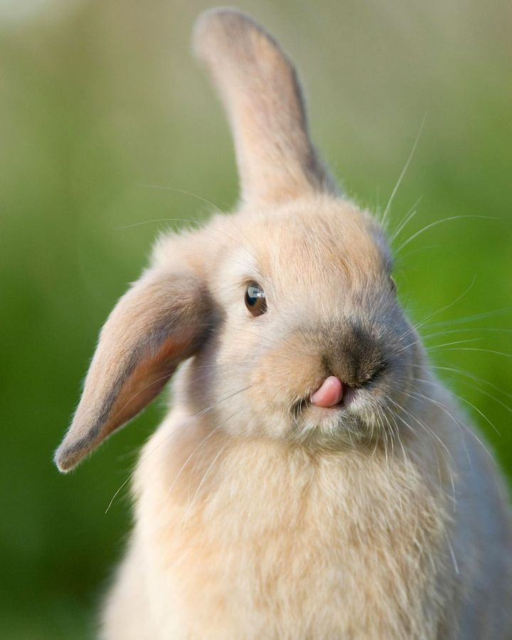 The complex functions of many genes are mysterious – so genetic editing can lead to surprises, such as the edited rabbits that unexpectedly developed long tongues (Credit: Alamy)