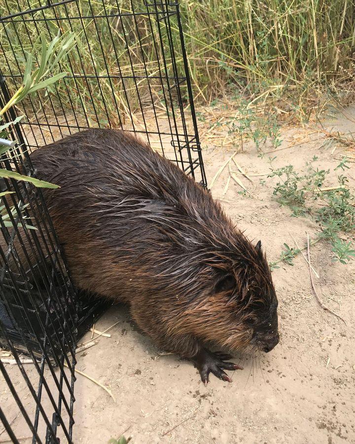 The beavers returning to the desert