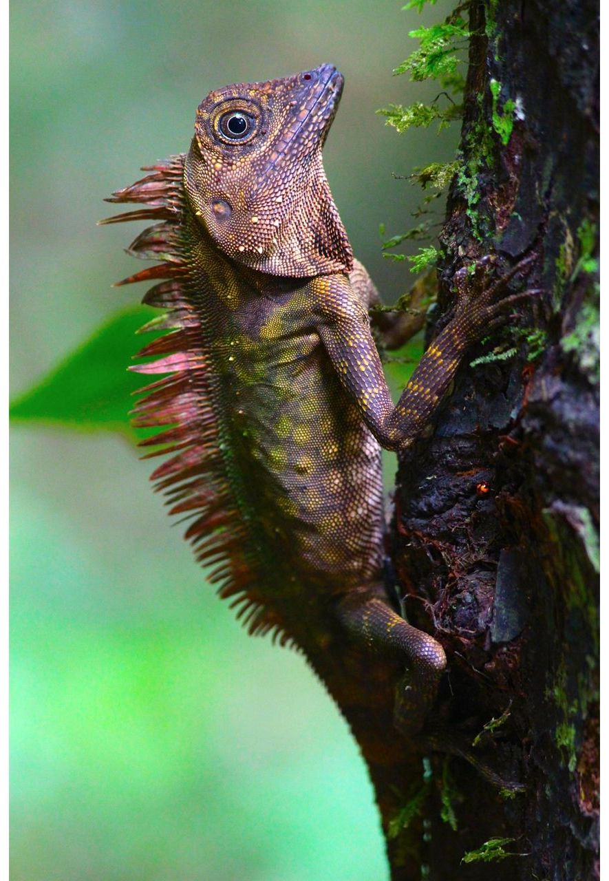 Blue-eyed lizard, Gunung Mulu National Park, Sarawak, Malaysia by Graeme Green (Credit: Graeme Green)