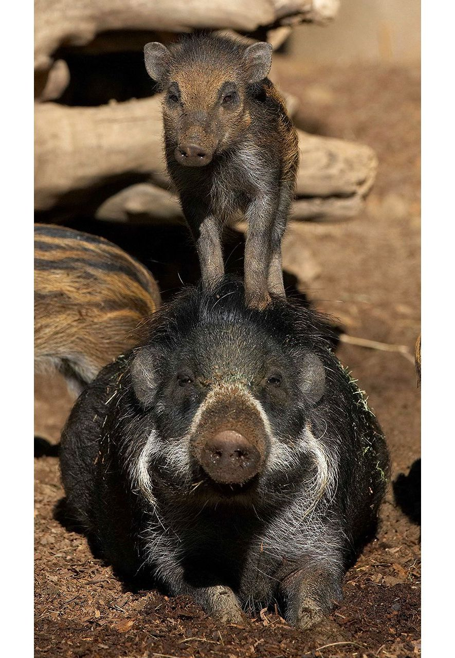 The Visayan warty pig, pictured here in captivity, is critically endangered with population numbers on the decline in the wild (Credit: Alamy)