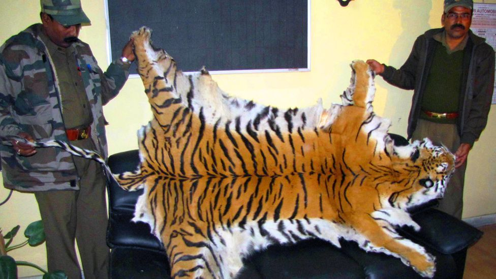 Tigers are being hunted to extinction for their skins, bones and claws. Indian customs officials hold a Bengal tiger skin seized in January this year. (Copyright: Getty Images)