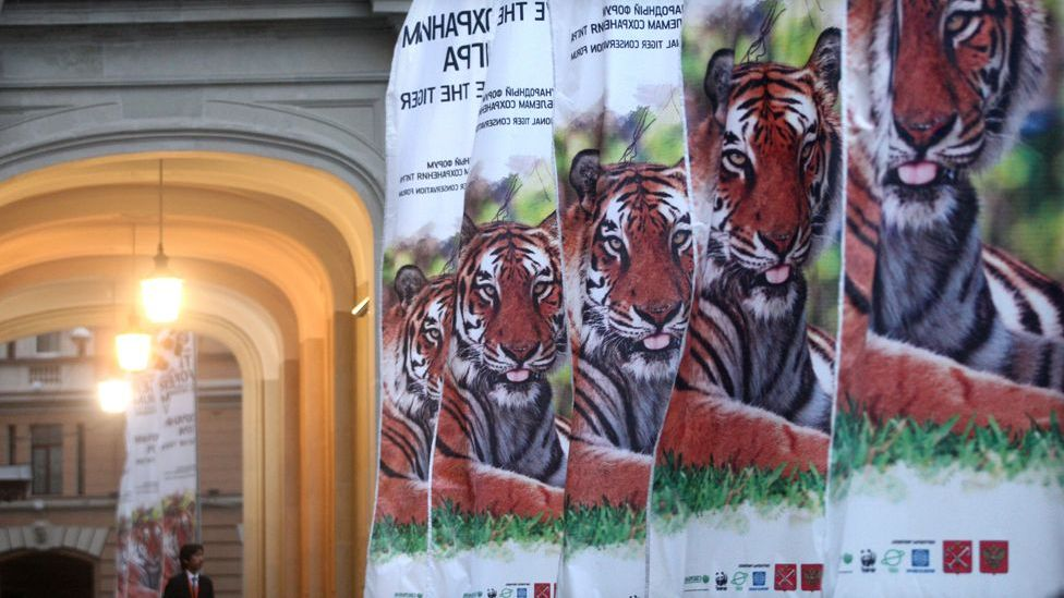 In a desperate effort to save the tiger from extinction, world leaders met in 2010 to raise the millions of dollars they hope will double numbers by 2022. (Copyright: Getty Images)