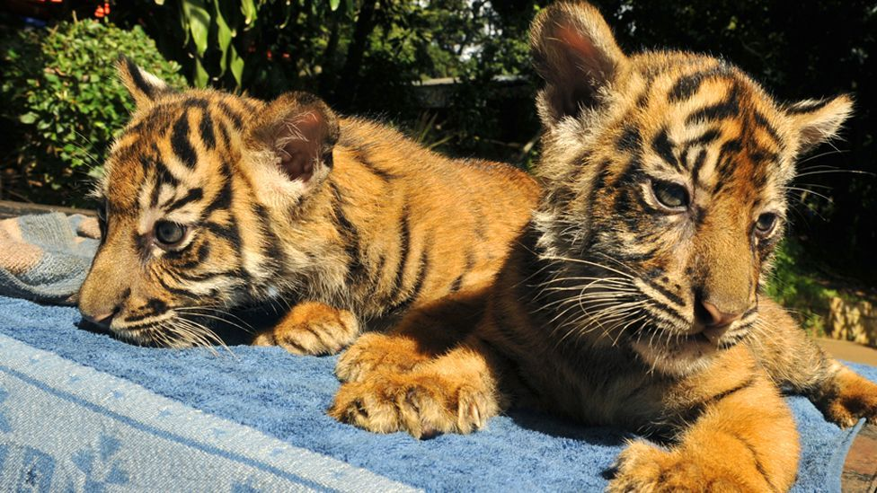 The Indonesian government is trying to save endangered tigers from extinction by allowing people to adopt captive-born animals for $100,000 a pair. (Copyright: Getty Images)