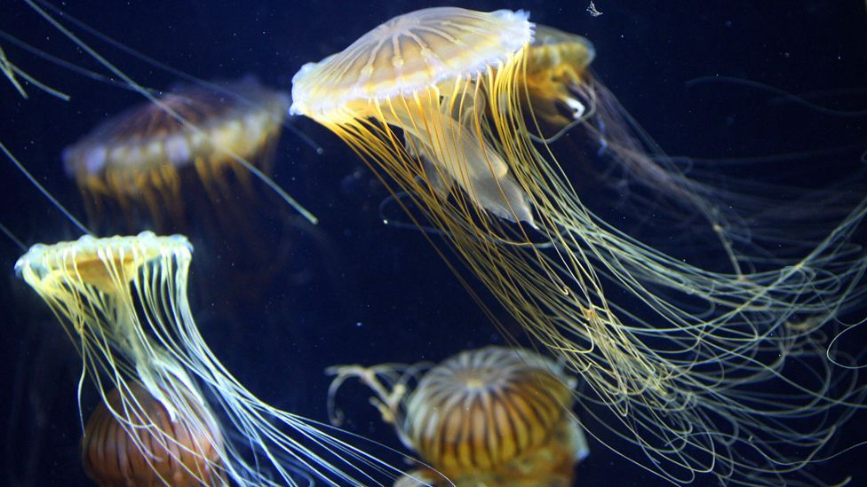 Huge carpets of jellyfish spreading across seas and oceans are causing serious problems. (Copyright: Getty Images)