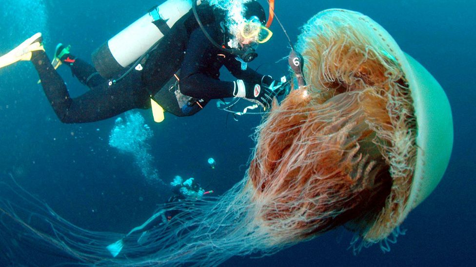 A diver highlights the size of the huge Echizen, or Nomura jellyfish regularly found off the coast of northern Japan. (Copyright: Getty Images)