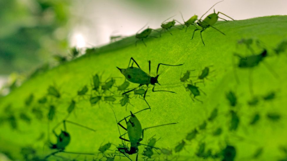 Recent evidence suggests that pea aphids use pigments called carotenoids to harvest the sun's energy and make chemical energy. (Copyright: Science Photo Library)