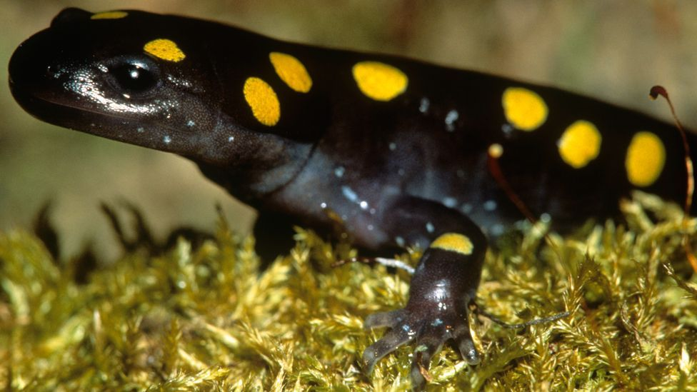 The spotted salamander's eggs are loaded with photosynthetic algae, which provides the embryos with a useful source of energy in the earliest parts of their lives. (Copyright: SPL)