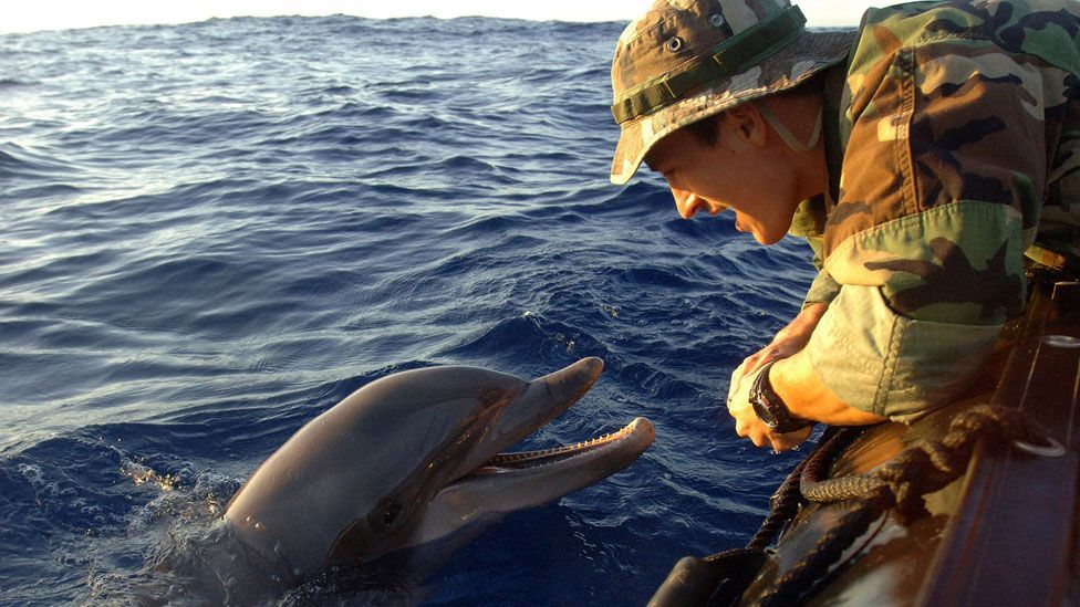The US Navy uses trained bottlenose dolphins to locate and mark mines on the sea floor or in shallow water. (Copyright: US Navy)