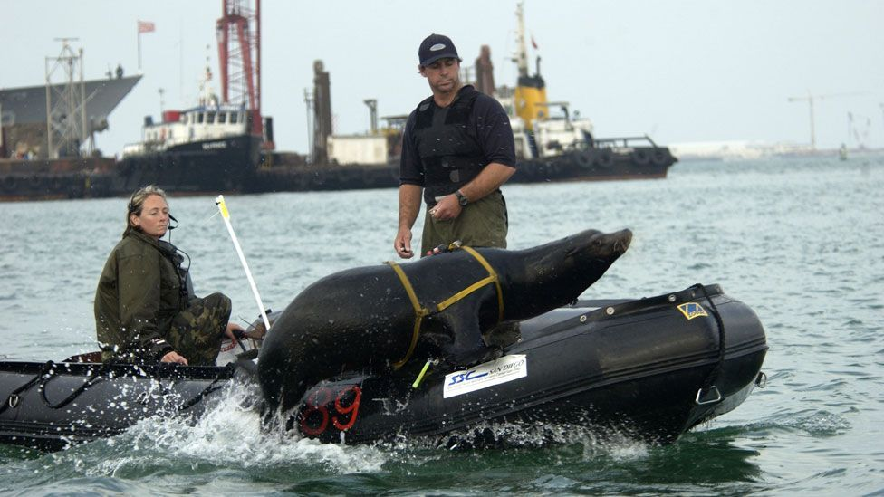 Other teams of dolphins and sealions are used to protect ships and harbours, detect enemy swimmers, as well as recover equipment from the sea floor. (Copyright: US Navy)