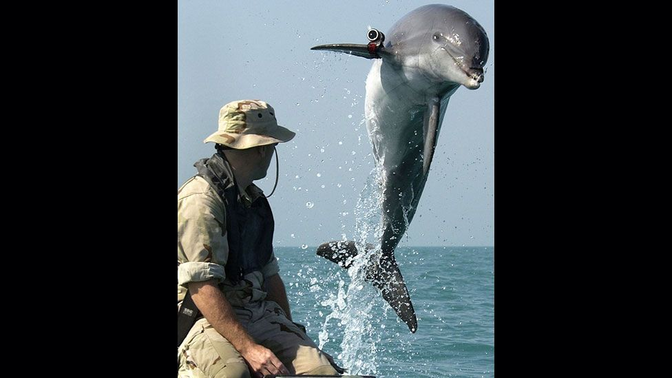 Dolphins were used in both Gulf Wars, when they were deployed to the Persian Gulf to detect underwater mines and other booby traps. (Copyright: US Navy)