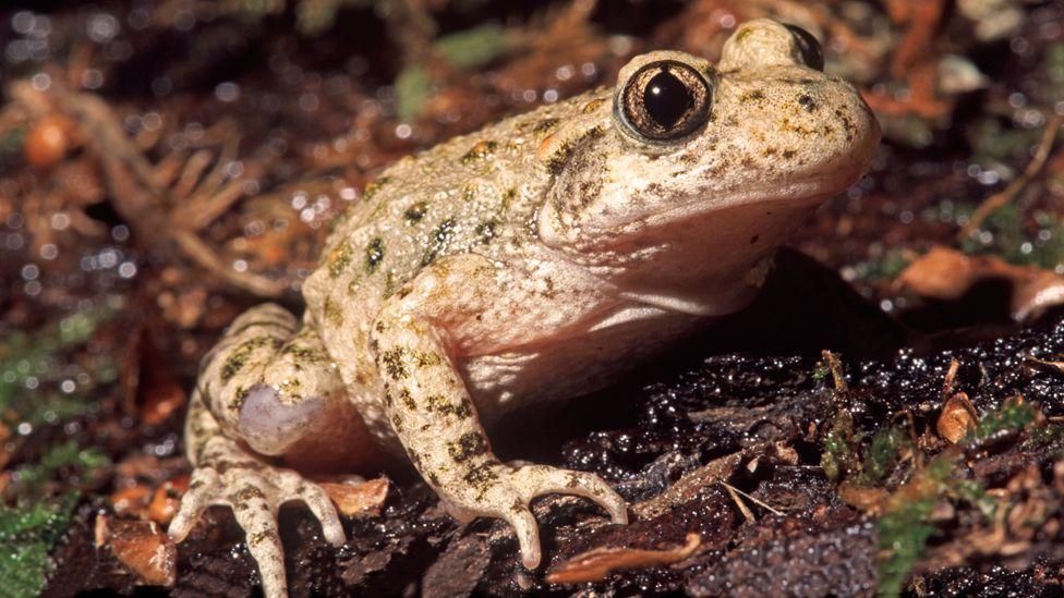 A Europe-wide project called RACE is trying to stop a deadly fungus threatening the lives of many amphibians, including the midwife toad (Copyright: Science Photo Library)