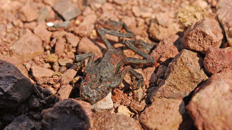 The fungal disease called Batrachochytrium dendrobatidis, or Bd, is already responsible for the mass death of over 350 amphibian species worldwide. (Copyright: Dirk Schmeller)