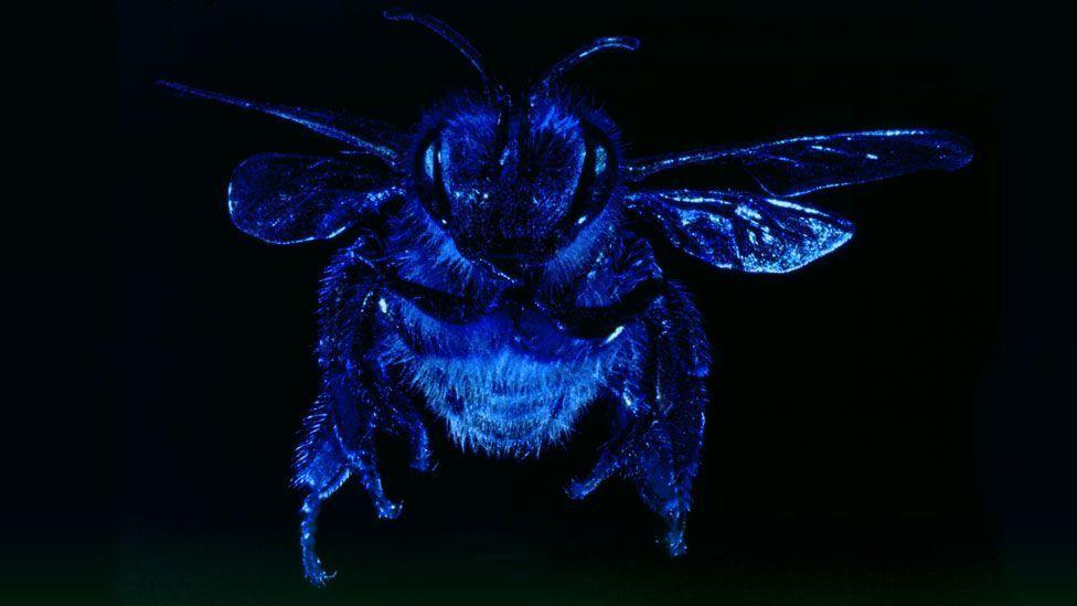 African honey bee (Copyright: SPL)