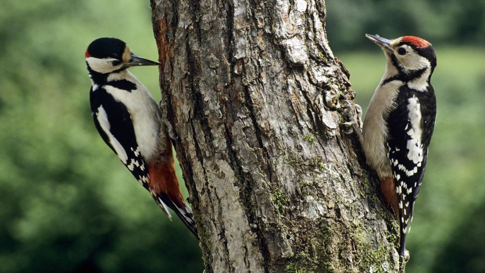 He turned to the anatomy of a woodpecker for inspiration, as the bird has various adaptations that protect it from repeated blows. (Copyright: SPL)