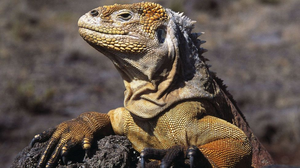 Land iguana on Fernandina Island, Galapagos. (BBC)