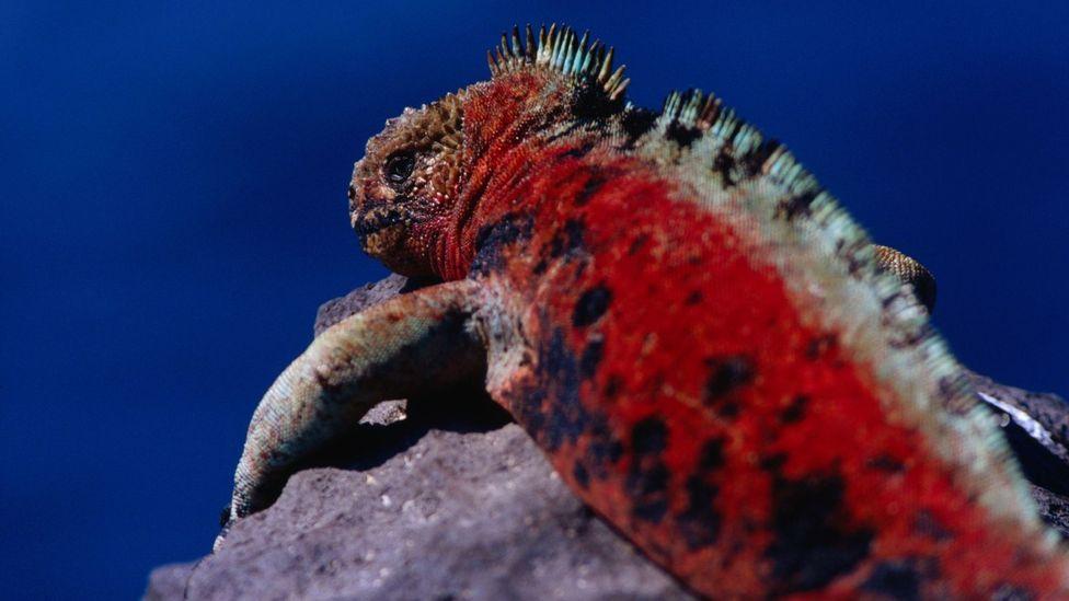 The otherwordly marine iguana basks on the rocks of Isla Espanola. (Richard I'Anson/LPI)