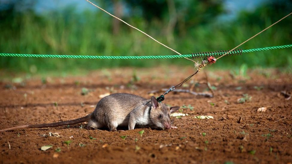 Apopo is an organisation that trains rats for various purposes including land mine clearance. (Copyright: Jonathan Kalan)