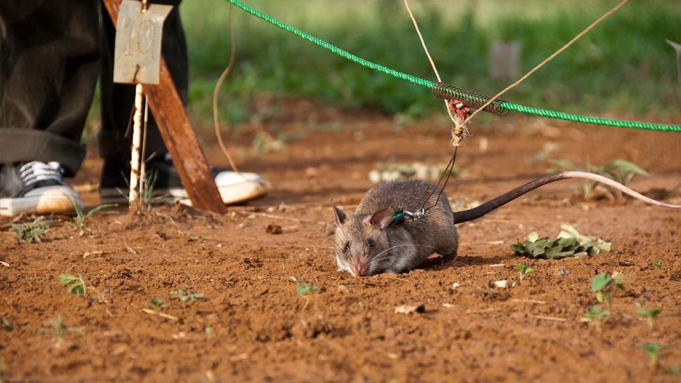 The harnessed rats are led along a rope between two handlers. When they detect explosives, they scratch the ground. (Copyright: Jonathan Kalan)