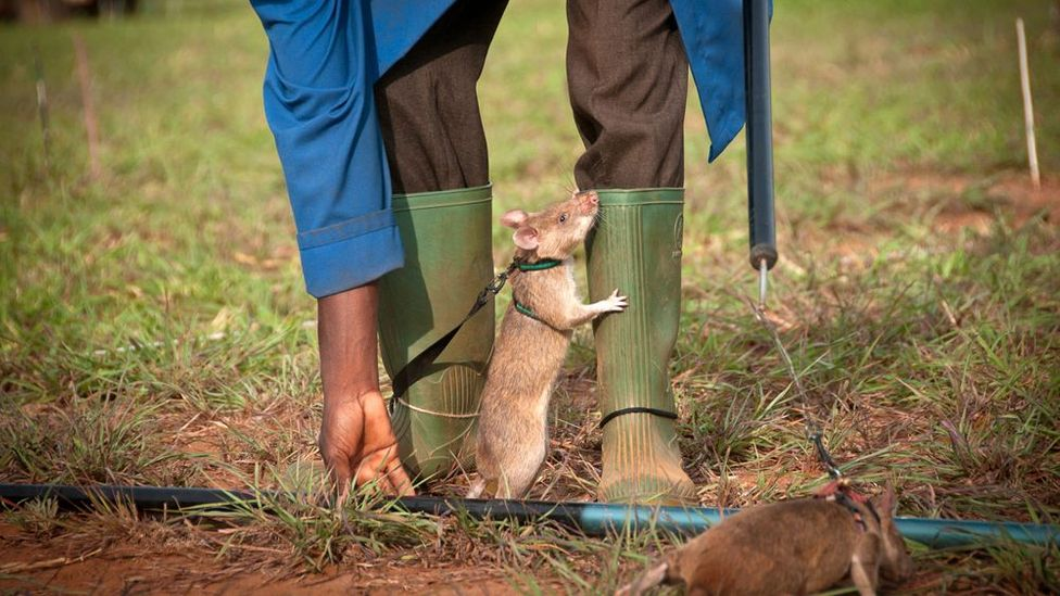 The rats are smart enough to learn a repetitive task and have a remarkable ability to sniff out TNT in the land mines. (Copyright: Jonathan Kalan)