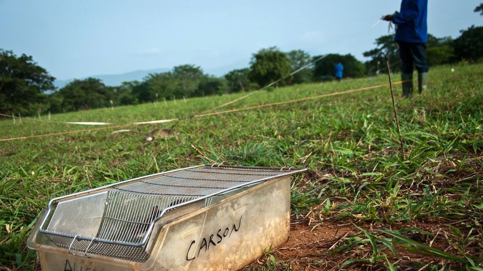 At its training field in Morogoro, Tanzania, up to 37 rats are trained to clear mines each day. (Copyright: Jonathan Kalan)